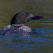 Common Loon by sbuckinghamnj