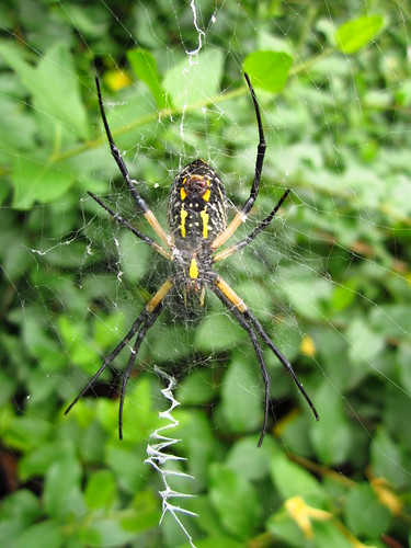 Black-and-Yellow Argiope #4