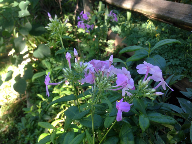 Phlox in Shade