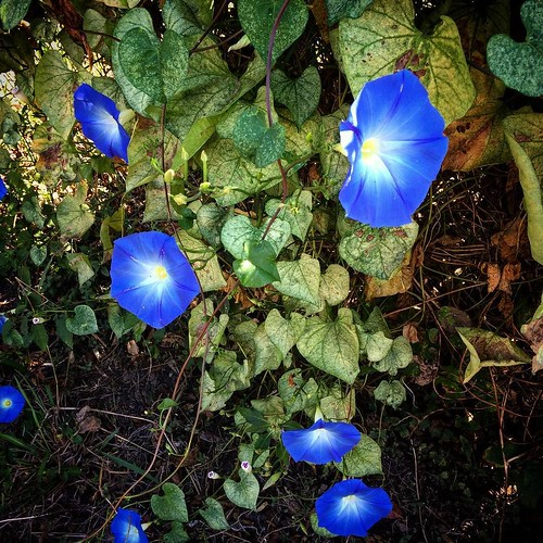 Blue flowers are my favorite - so rare and magical.
