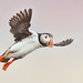 Atlantic-puffin by Corey Hayes