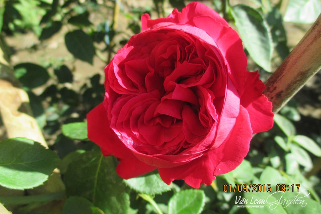 hoa hong leo red eden rose 1111 (10)-vuonhongvanloan.com