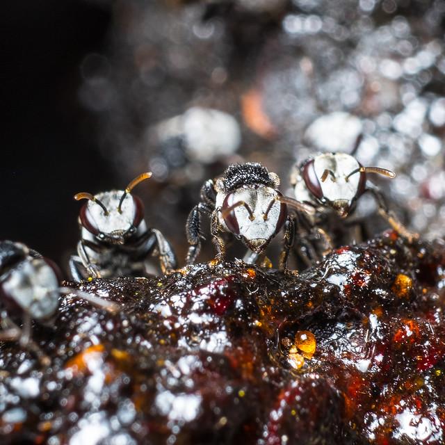 Australian Stingless Honeybee family, Fujifilm X-T1, XF60mmF2.4 R Macro