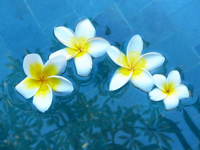 Frangipane flowers dropped into the pool and float!