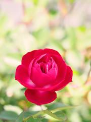 Rose, Fabvier, バラ, ファブビエ,