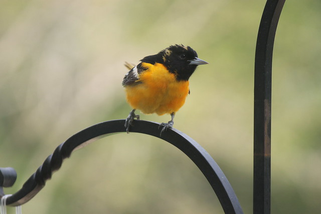 Flickr: The Birds of Southeast Michigan Pool