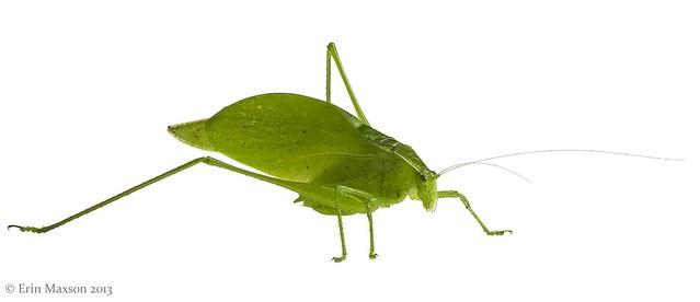 Belize katydid 2