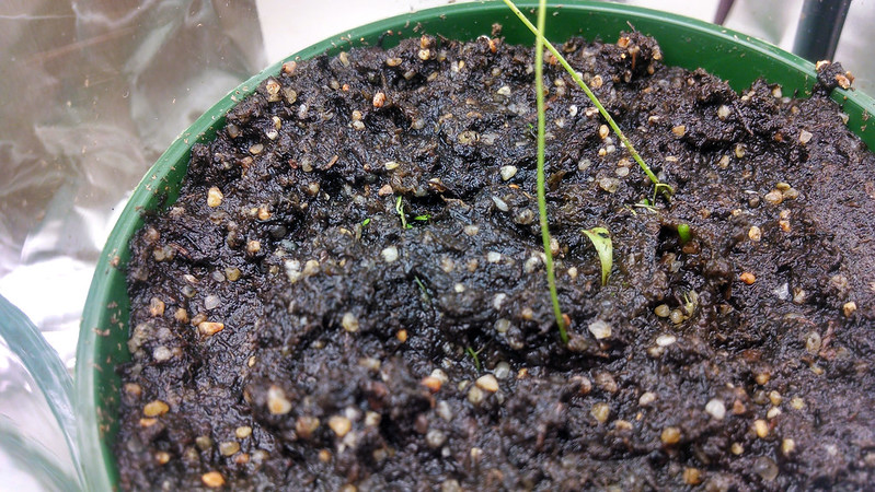 The humble beginnings of my Utricularia livida.