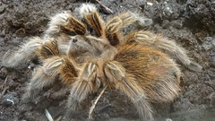 wolf spider(0.0), arthropod(1.0), animal(1.0), spider(1.0), araneus(1.0), invertebrate(1.0), macro photography(1.0), fauna(1.0), tarantula(1.0),