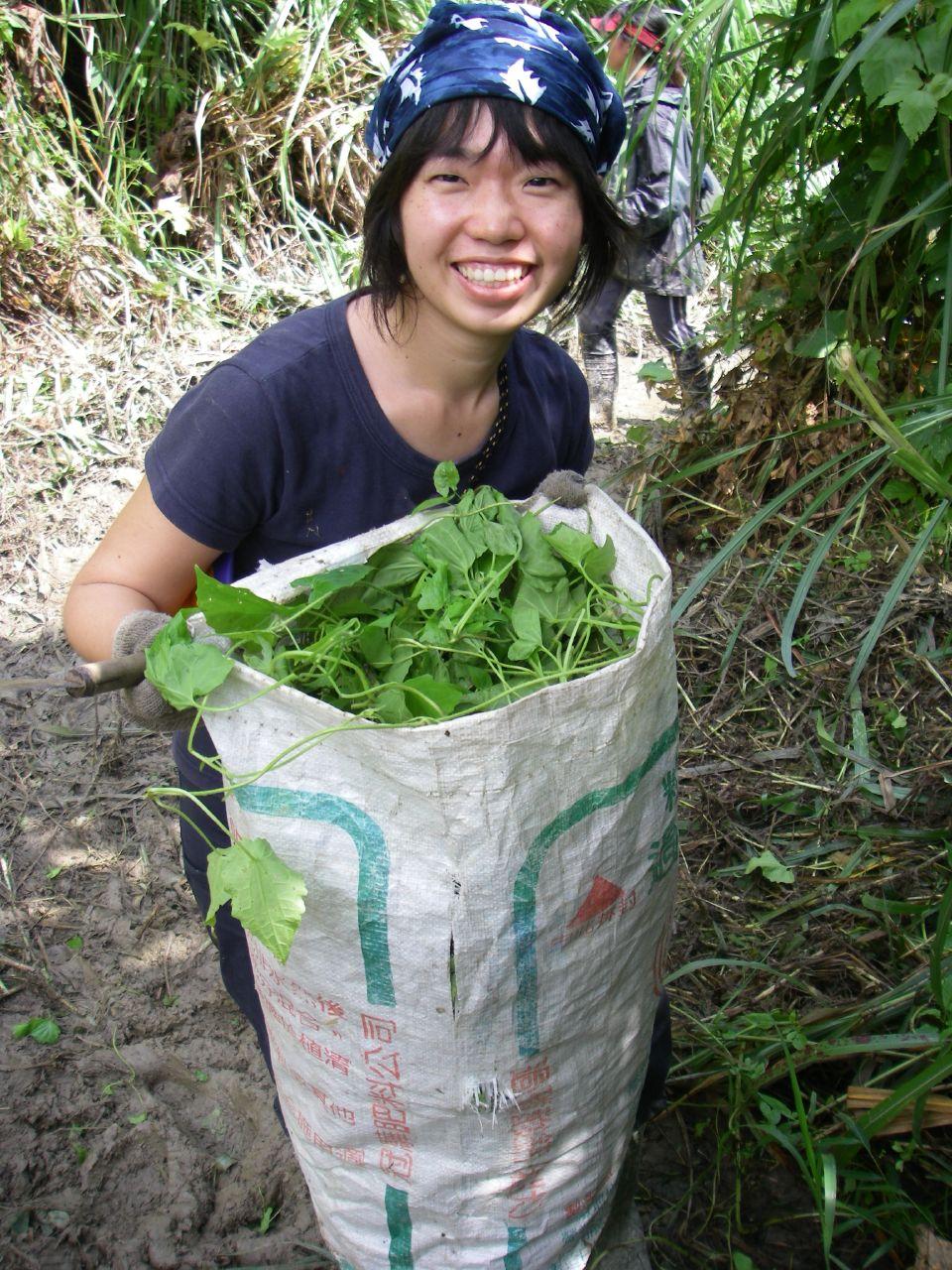 2008台東生態工作假期,清除小花蔓澤蘭