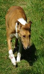 dog breed, animal, dog, grass, pet, mammal, ibizan hound, basenji,