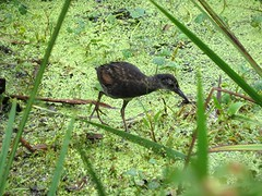 Virginia Rail/ Spring Valley Wildlife Area/ 7-19-2014