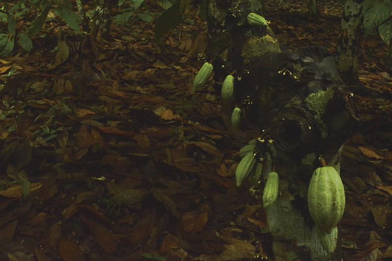 Unripe cacao pods