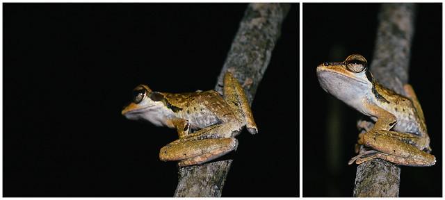 Sarawak Frogging