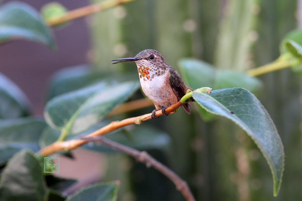 Allen's Hummingbird 290714