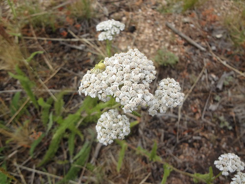 Yarrow with green spider