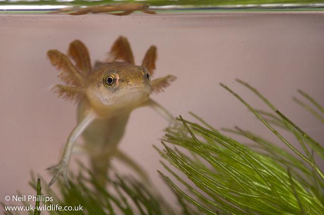 smooth newt tadpole-2