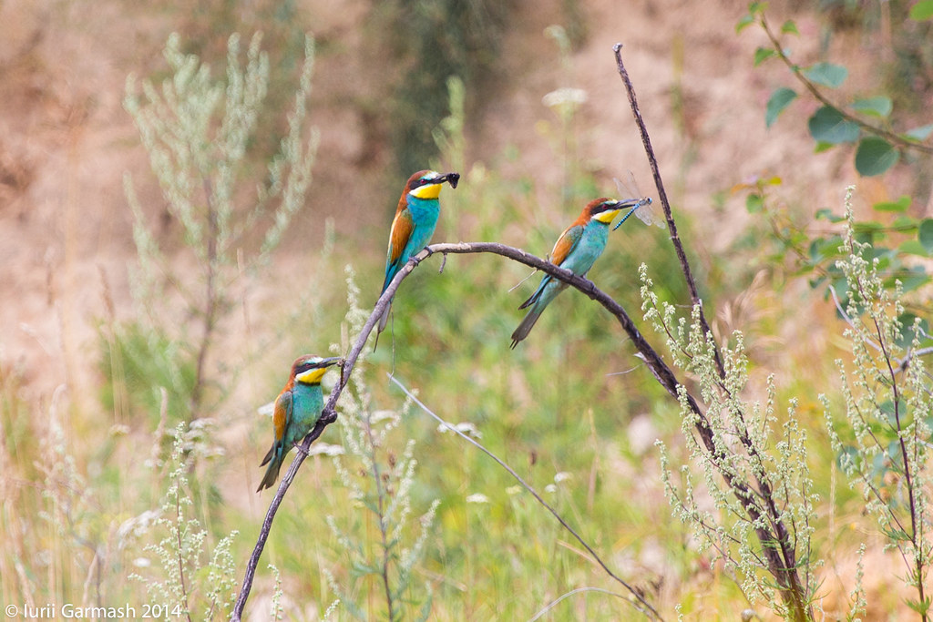 Trio of bee eaters