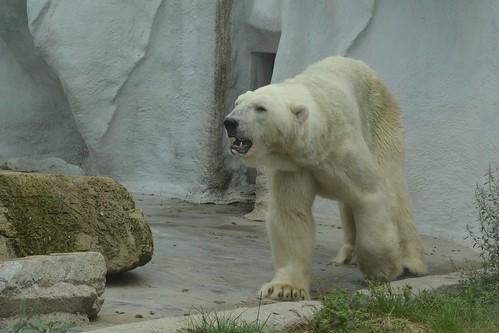 Eisbär Viktor im Ouwehands Dierenpark.