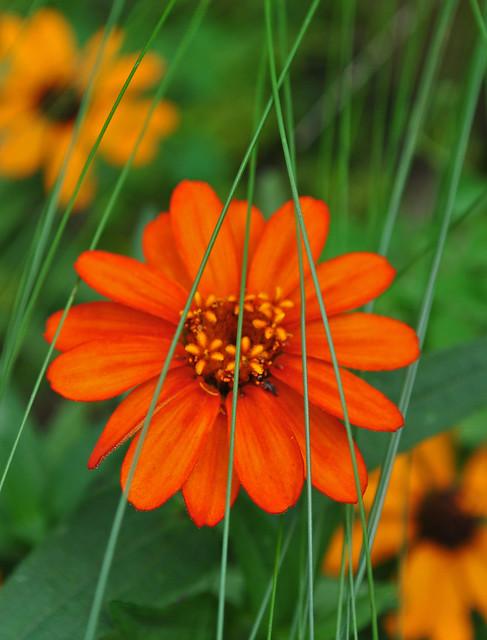 Zinnia 'Profusion Fire' with Nassella tenuissima