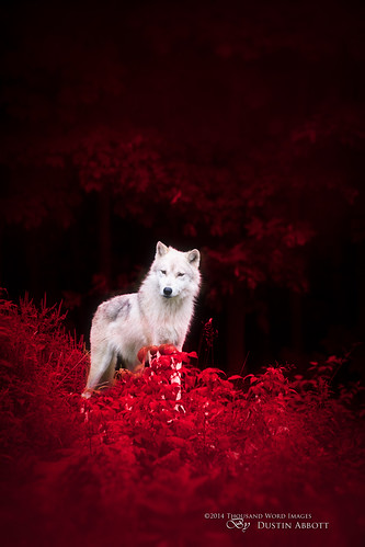 red summer canada animal forest fur woods wolf moody quebec fineart atmosphere arctic foliage fantasy handheld dreamy concept fullframe parcomega papineauville canoneos6d canonef70300mmf456lis thousandwordimages dustinabbott dustinabbottnet adobelightroom5 adobephotoshopcc