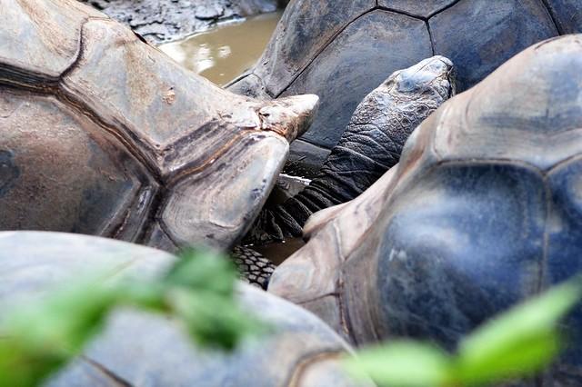 Snugglin' Tortoise
