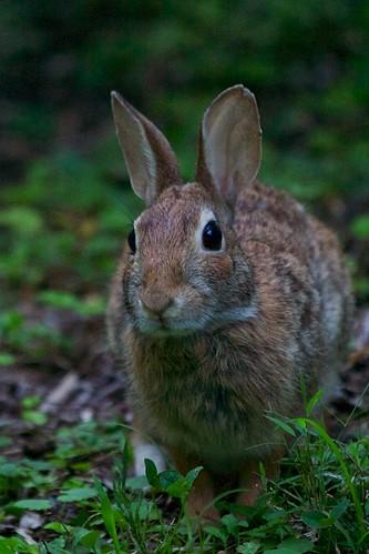 New England Bunny