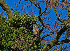 Kestrel male 220314 0049