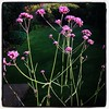 I've really enjoyed having so much verbena in the garden this year.