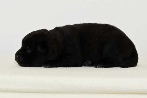 Nori-Litter2-10Days-Puppy3(female)c