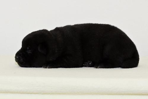 Nori-Litter2-10Days-Puppy3(female)c