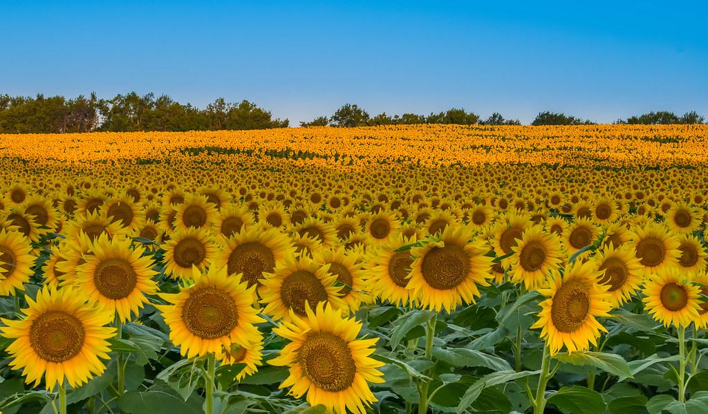 Sunflower Fields In Kansas Fm Forums