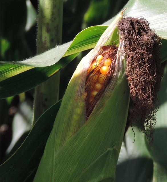 Corn appearing