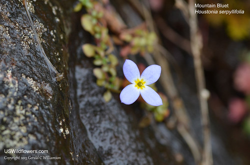 Creeping Bluet, Mountain Bluet, Thymeleaf Bluet, Appalachian Bluet, Michaux's Bluets - Houstonia serpyllifolia