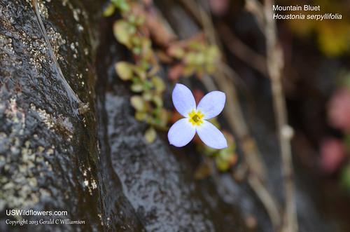 Creeping Bluet, Mountain Bluet, Thymeleaf Bluet, Appalachian Bluet, Michaux's Bluets - Houstonia serpyllifolia