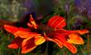 Rudbeckia in Orange