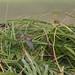 Doug Gochfeld has added a photo to the pool:Dusky Warbler in flight. St. Paul Island, Alaska. 09/19/14.3rd Pribilof record.ebird.org/ebird/view/checklist?subID=S19881361