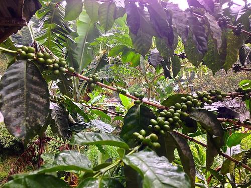 Minca coffee beans