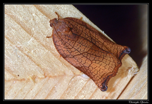 Archips podana femelle
