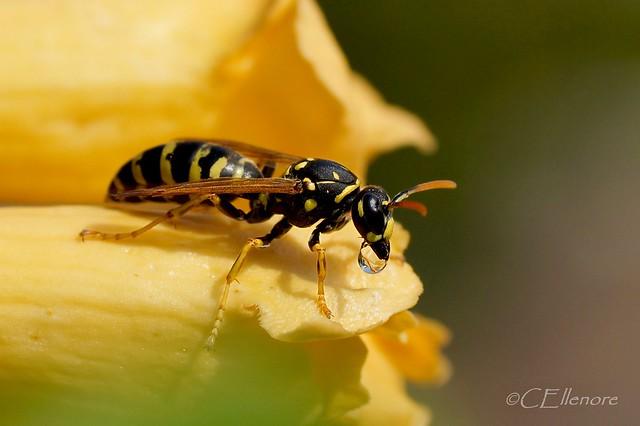 Wespe mit Nektar /  wasp with nectar  (2)