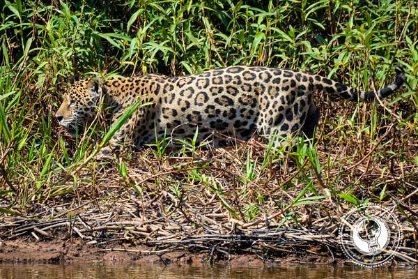 Pantanal Jaguar Hunting