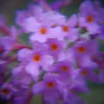 Buddleia Blur