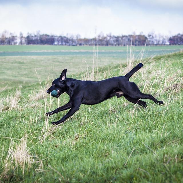 perro Labrador corriendo una carrera