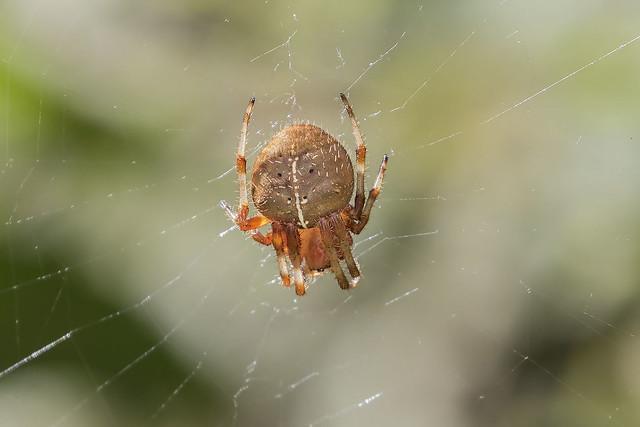 Cat Faced/Tree Spider, Araneus gemma