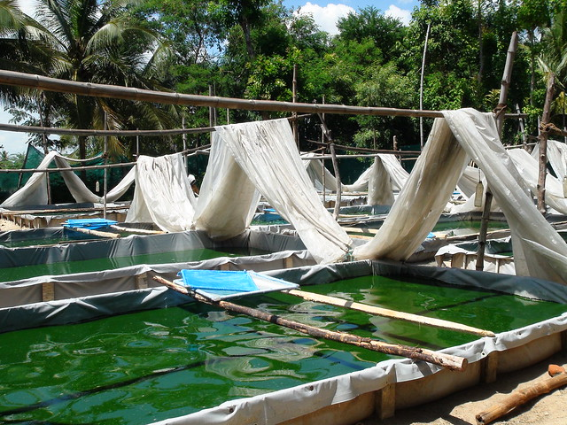 spirulina cultivation