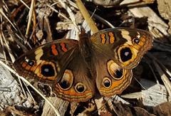 Common Buckeye Butterfly 2016