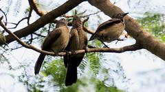 Brown Babbler. Turdoides plebejus