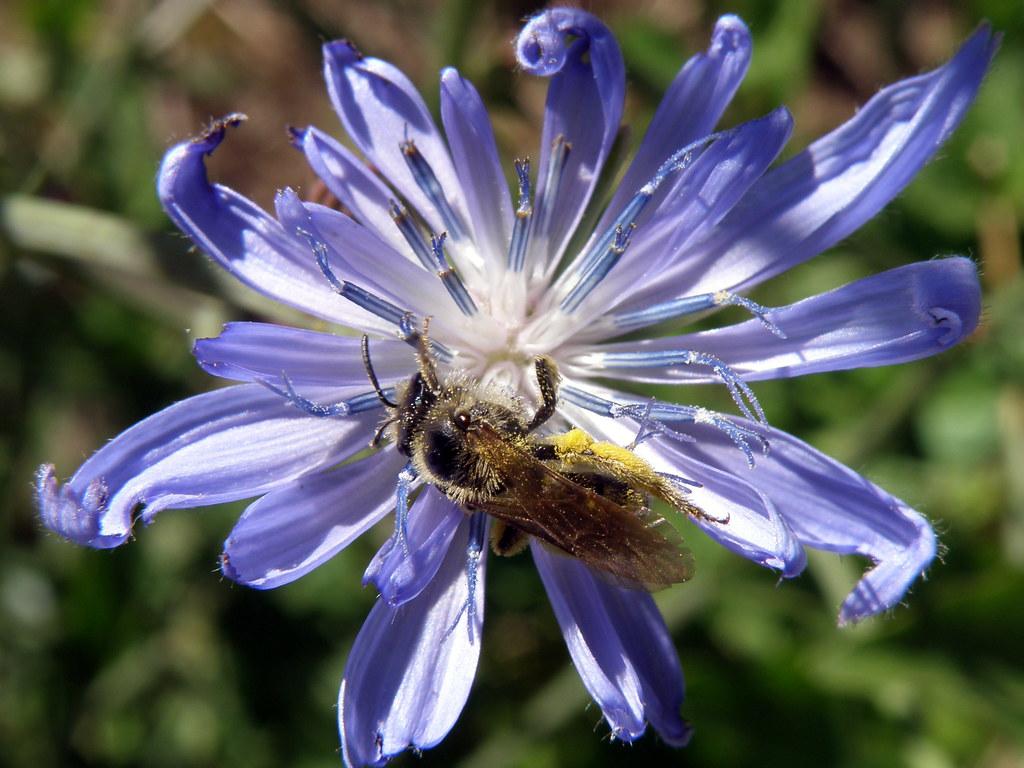 P6255985...chicory w/ bee