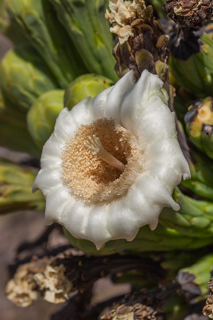Sagauro Flower - Like A Wax Specimen