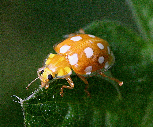 Orange Ladybird Halyzia sedecimguttata Tophill Low NR, East Yorkshire May 2014